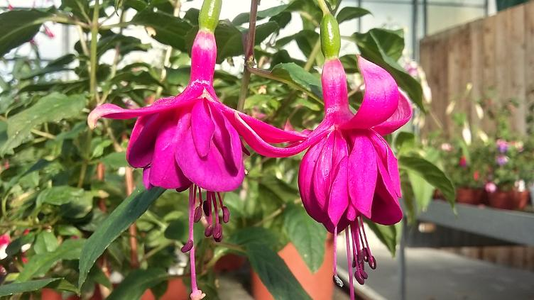 Fuchsia Willhelm Tell